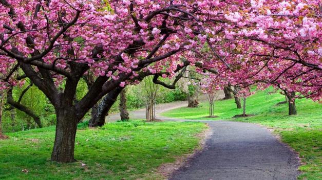 cherry-blossom-path-grass-sakura-nature-free-hd-315681