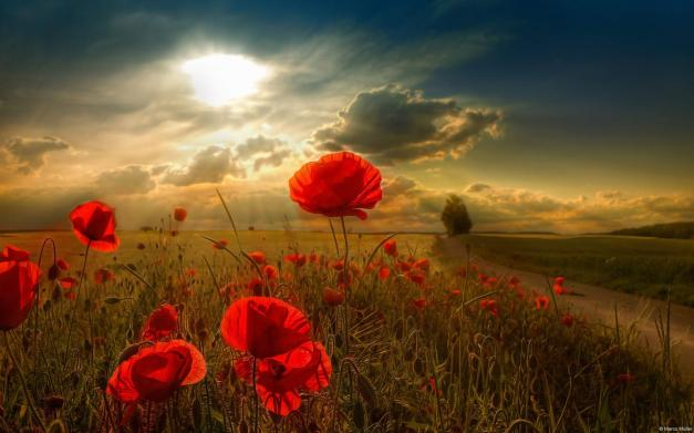 red-flowers-in-sunlight-wallpaper-desktop